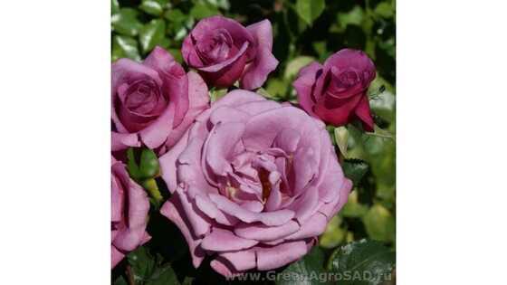 Роза чайно гибридная Шокин Блю