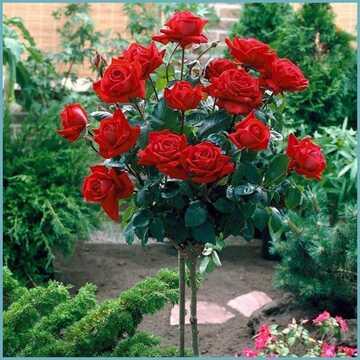 Роза штамбовая красная