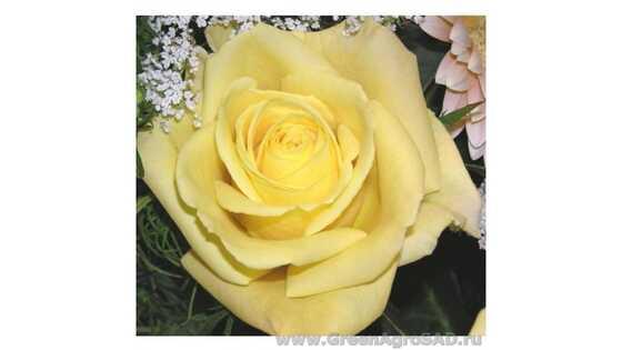 Роза чайно гибридная Скайлайн