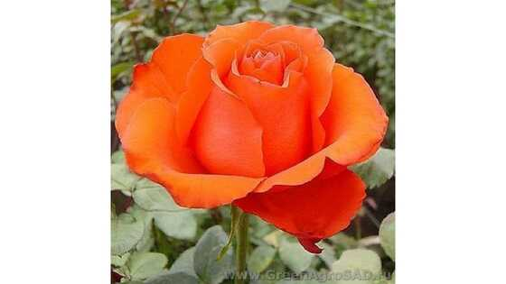 Роза чайно гибридная Стар 2000