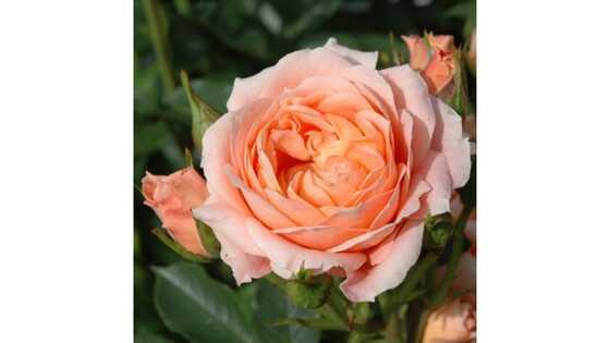 Роза почвопокровная Свит Дрим