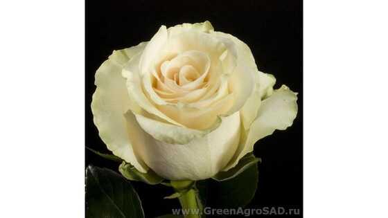 Роза чайно гибридная Талея