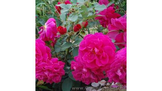 Роза английская Там оШантер