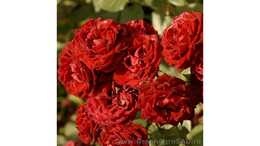 Роза бордюрная Таманго