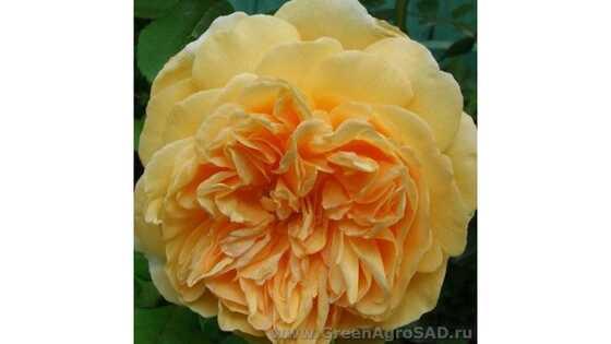 Роза английская Тизин Джорджия