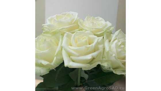 Роза чайно гибридная Уайт Наоми