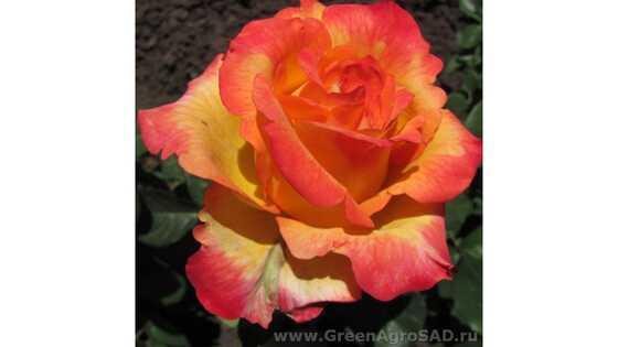 Роза чайно гибридная Утопия
