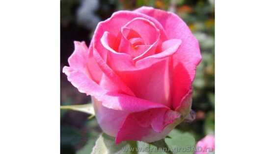 Роза чайно гибридная Утро Парижа
