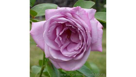 Роза чайно гибридная Вальс-Тайм