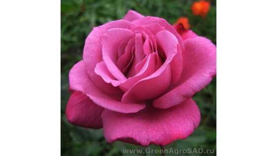 Роза чайно гибридная Вандер Блю