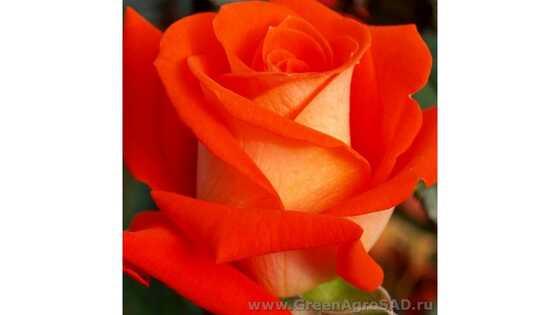 Роза чайно гибридная Верано
