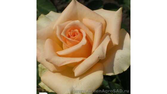 Роза чайно гибридная Версилия