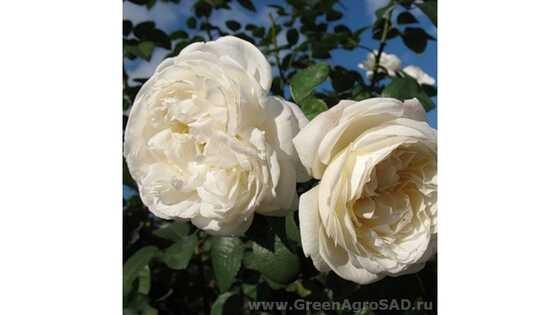 Роза английская Винчестер Кэсидрал