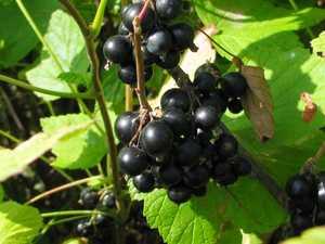 Смородина чёрная Виноградная