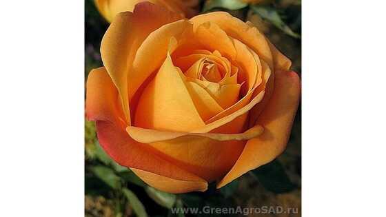 Роза чайно гибридная Вуду