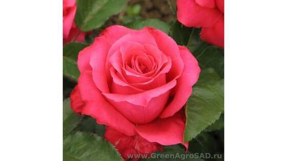 Роза чайно гибридная Высоцкий