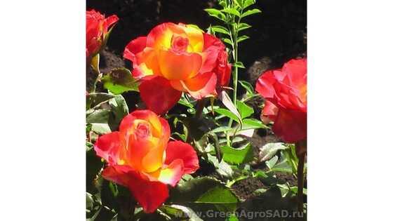 Роза чайно гибридная Высший свет