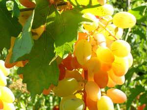 Виноград Янтарный