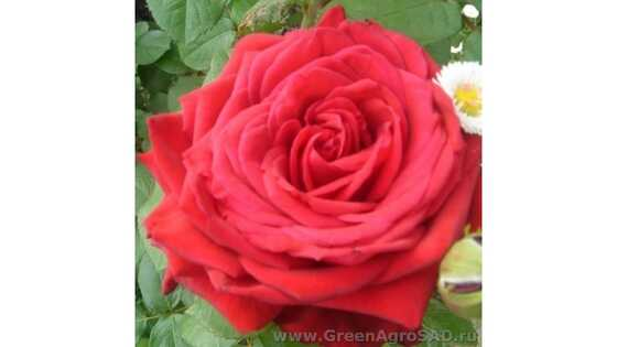 Роза чайно гибридная Юнион Стар