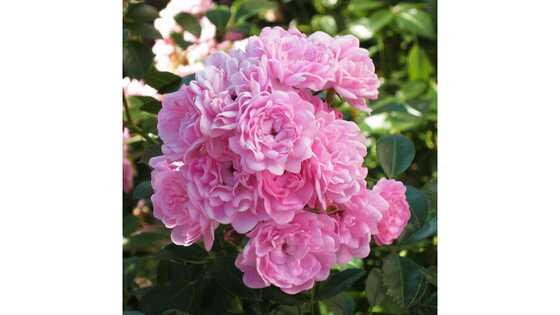 Роза почвопокровная Зе Фейри