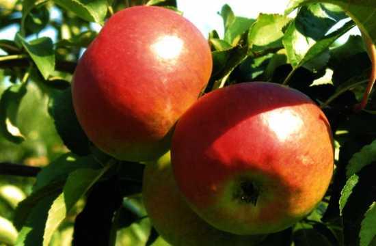 Яблоня Жигулевское