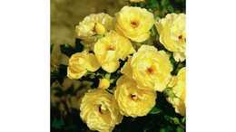 Роза почвопокровная Зонеширм